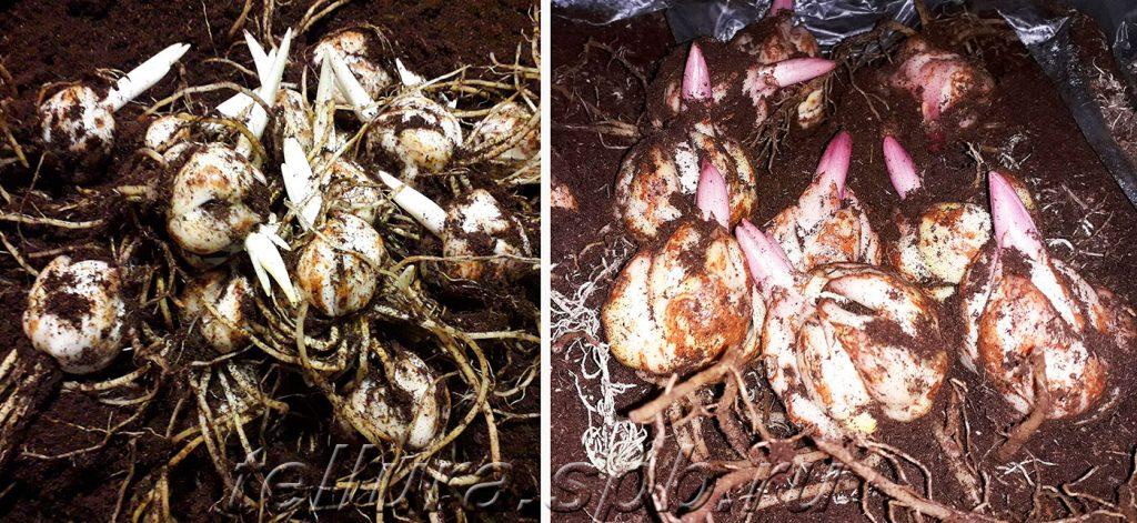 фото луковиц азиатских и восточных лилий