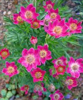 Anemona multifida 'Rubra'