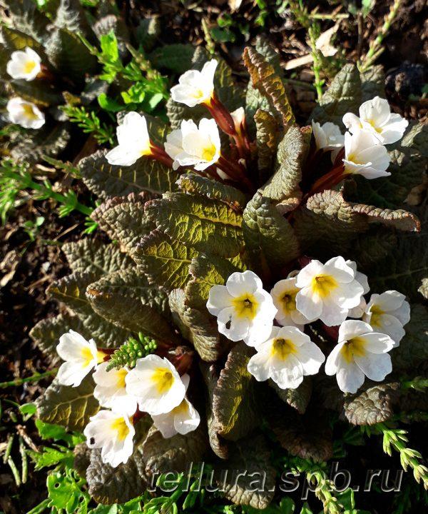 Примула Данберг фото цветущих растений