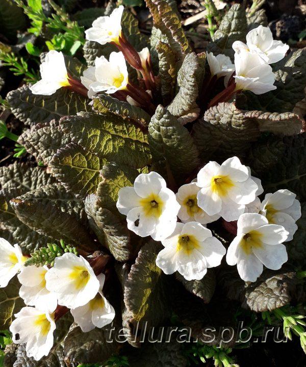 Примула Данберг фото цветов