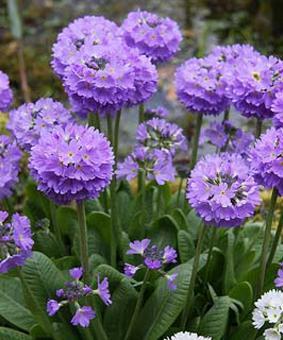 Primula denticulata lilac