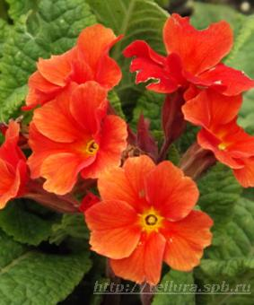 Primula 'Don Keefe' NEW 2018