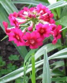 Primula 'Miller's Crimson'