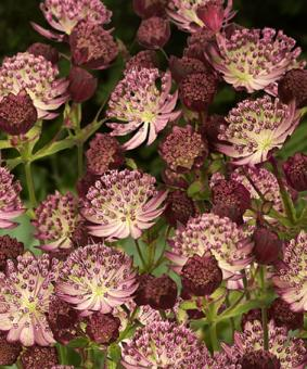 Astrantia major 'Star of Passion'