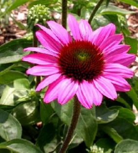 Echinacea 'The King'