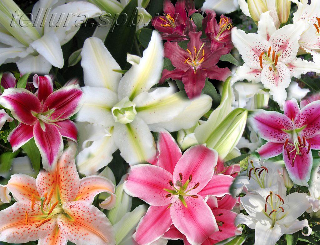 восточные гибриды лилий фото цветок