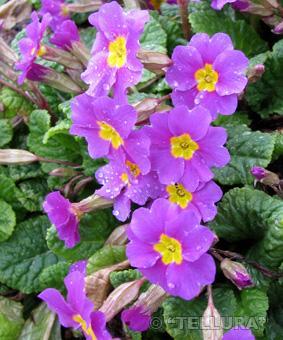 Primula x julii