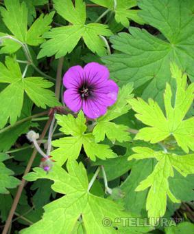 Geranium hybr. 'Ann Folkard'