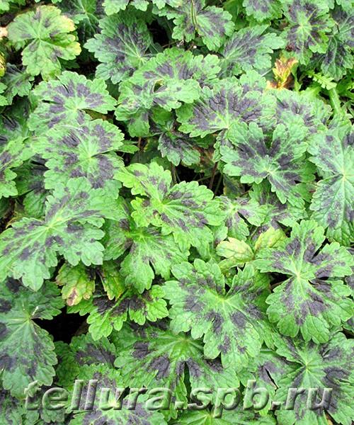 Герань Самобор фото листьев