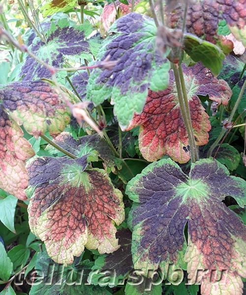 Герань Самобор фото осенней окраски листьев