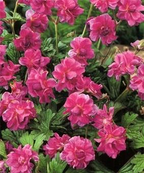 Geranium himalayence 'Plenum'