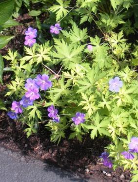 Geranium hybr. 'Blue Sunrise'