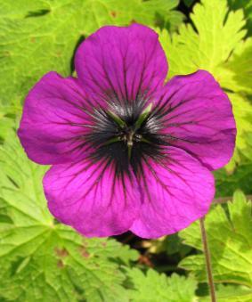 Geranium hybr. 'Sandrine'