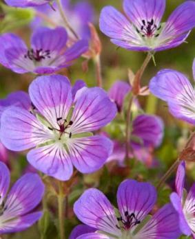 Geranium hybr. 'Sweet Heidi'