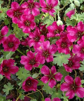 Geranium cinereum 'Purple Pillow'