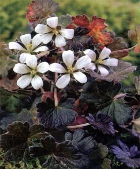 Geranium sessiliflorum 'Nigricans'