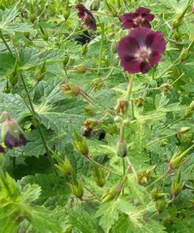 Geranium phaeum 'Shadow Ligth'