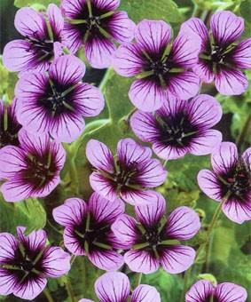 Geranium hybr. 'Sue Crug'