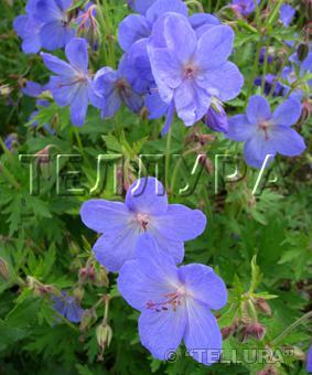Geranium pratense 'Jonson's Blue'