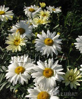 Leucanthemum maximum 'Broadway Lights'