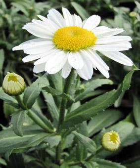 Leucanthemum maximum 'Silver Princess'