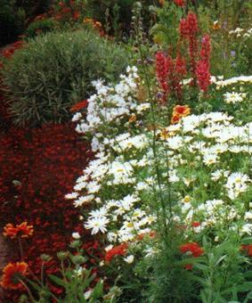Leucanthemum maximum 'Silver Princess'