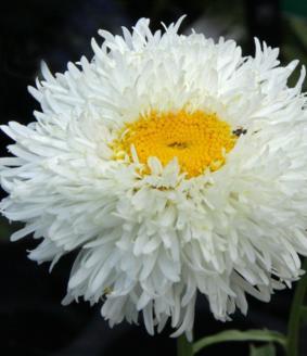 Leucanthemum 'Engelina'
