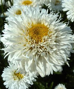 Leucanthemum x superbum 'Snehurka'