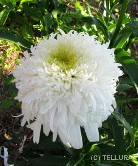Leucanthemum x superbum 'Fiona Coghill'