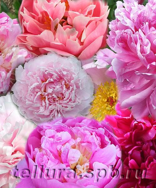пионы розового цвета фото