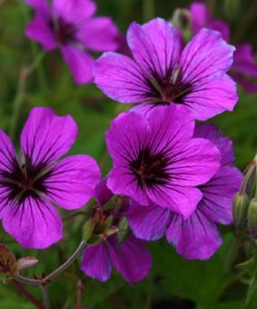 Geranium hybr. 'Patricia'