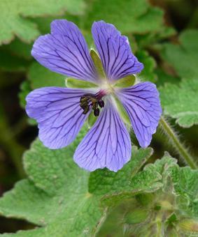 Geranium hybr. 'Philippe Vapelle'