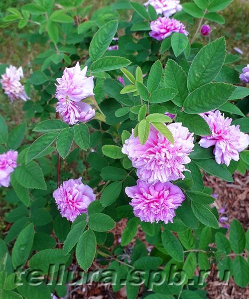 Rosa majalis Tornedal фото цветущего куста