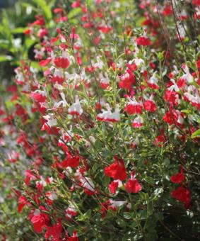 Salvia mycrophylla 'Hot Lips'