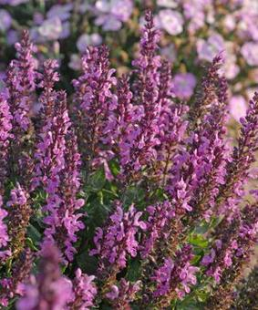 Salvia nemorosa 'Sensation Rose'