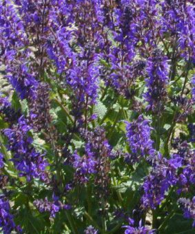 Salvia x sylvestris 'Viola Klose'