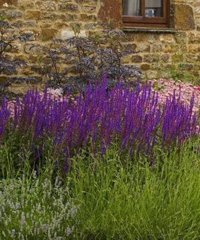 Salvia x sylvestris 'Tanzerin'