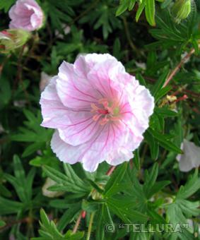 Герань кроваво-красная Стриатум фото цветка