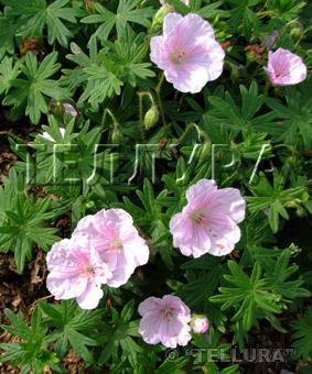 Geranium sanguineum var. 'Striatum'