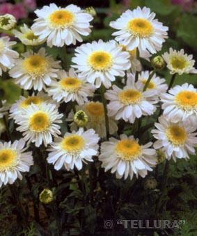 Leucanthemum hybr. 'Sunny Side Up'