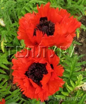 Papaver orientale 'Turkenlouis'