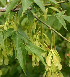 Acer negundo - Клён ясенелистный