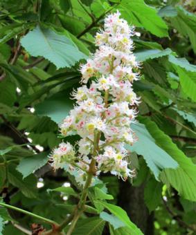 Aesculus hippocastanum - Конский каштан