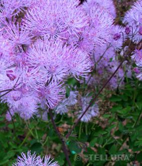 Thalictrum aquilegiafolium 'Purpureum'