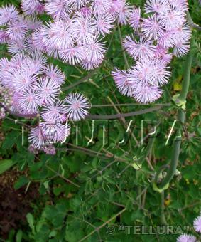 Thalictrum aquilegiafolium