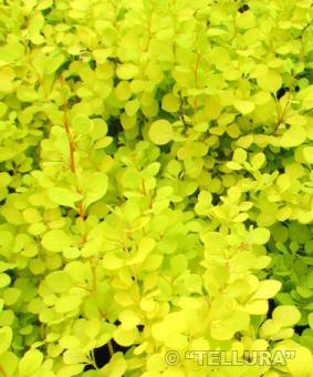 Berberis thunbergii 'Aurea'