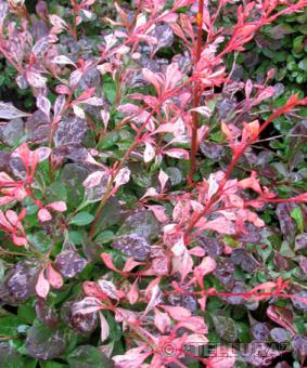 Berberis thunbergii 'Pink Attraction'