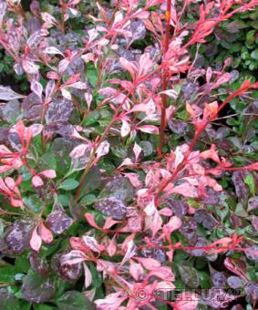 Berberis thunbergii 'Pink Attraction'