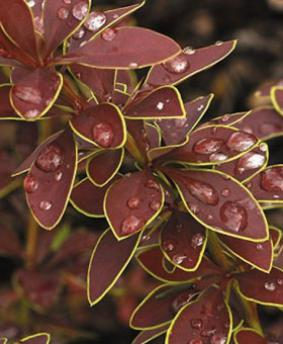 Berberis thunbergii 'Golden Ring'