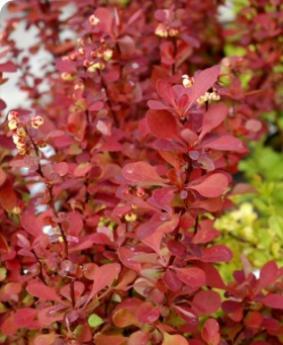 Berberis thunbergii 'Red Carpet'